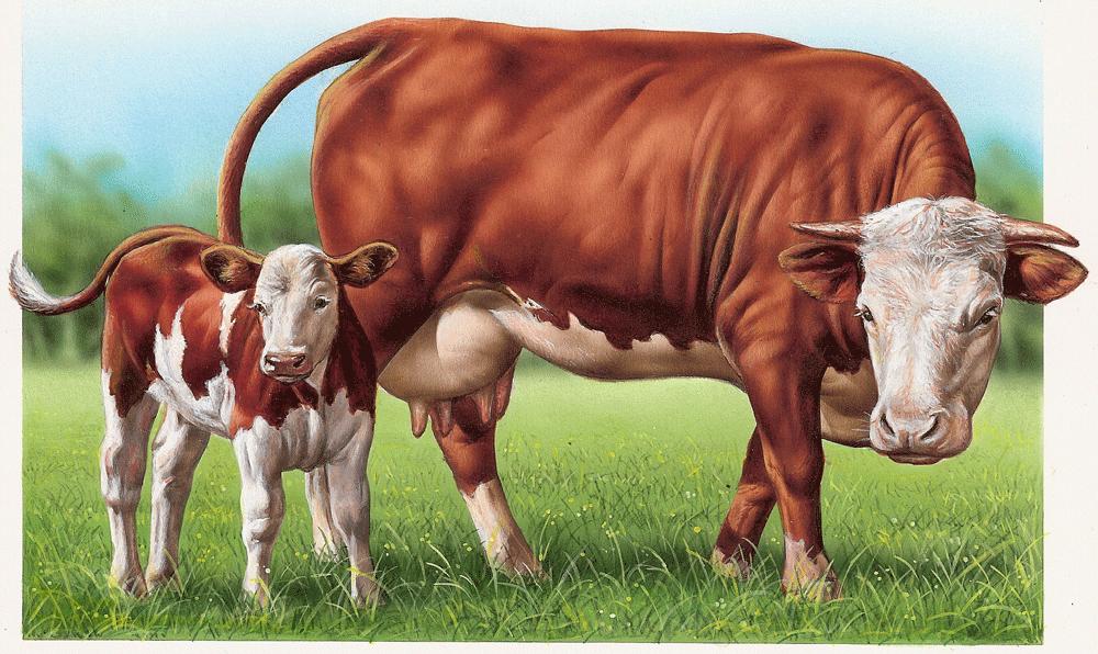 Galerie des illustrations sur les mammif res aquar lis es et dit es de marie christine lemayeur - Coloriage petit veau ...